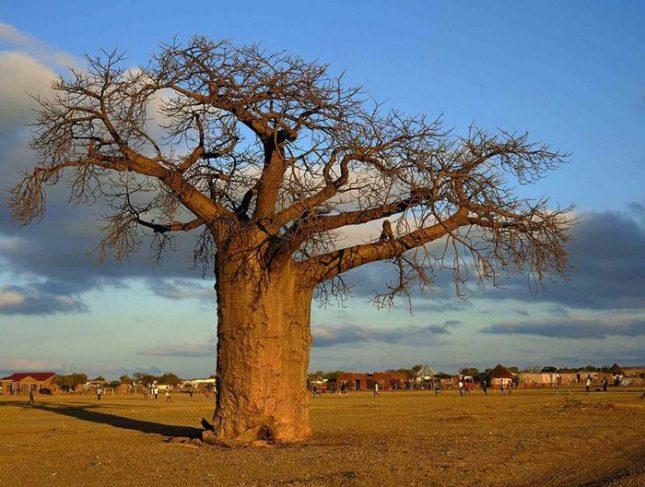 Баобаб в Южна Африка. Снимка: South African Tourism - Защо умират баобабите?