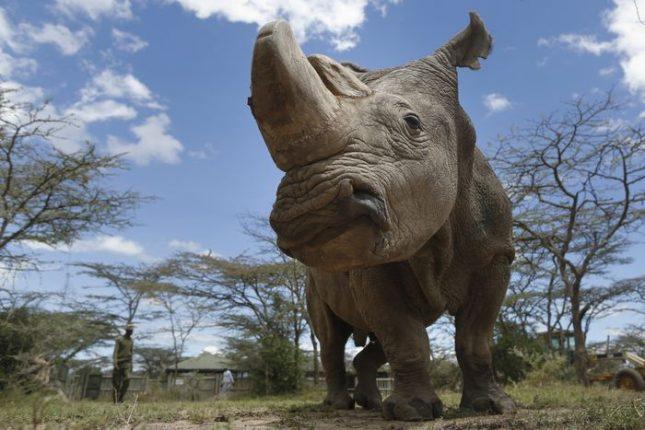Суданският бял носорог на име Судан бе приспан през март тази година поради напредналата си възраст (43 г.). Снимка: ЕПА/БГНЕС - Спасяват с инвитро изчезващия судански бял носорог
