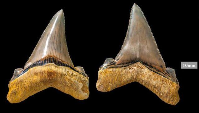 """Зъбите на изчезналия вид акула Carcharocles angustidens са изложени в Музея в Мелбърн, Австралия. Снимка: """"Музеи Виктория"""" - Зъби на 9-метрова акула на 25 млн. години открити в Австралия"""